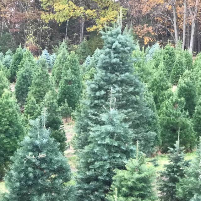 Live Christmas trees can contain high levels of mold.