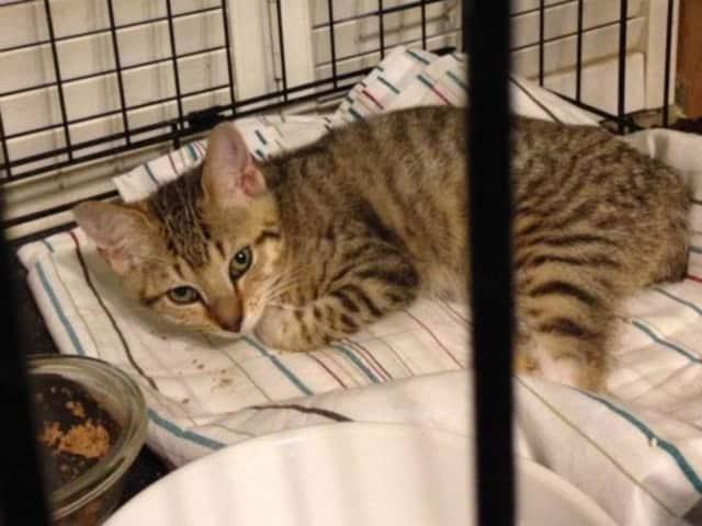 Forgotten Felines is seeking donations to help Hope, a kitten found in Sleepy Hollow