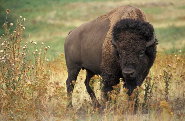 Bison escaped from an upstate New York farm.