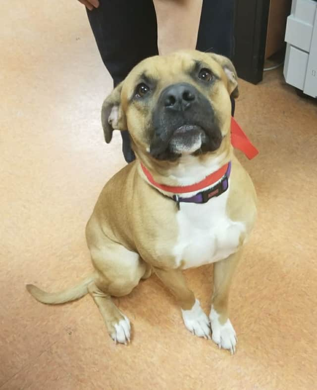 This male dog was found wandering the streets of Stamford late Sunday.