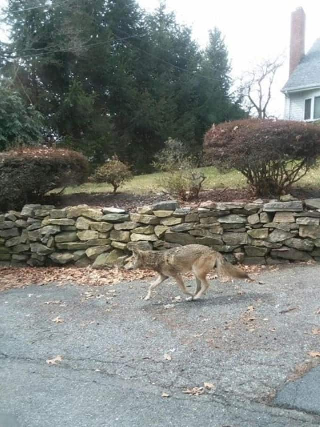 This coyote remains at large in Yonkers.