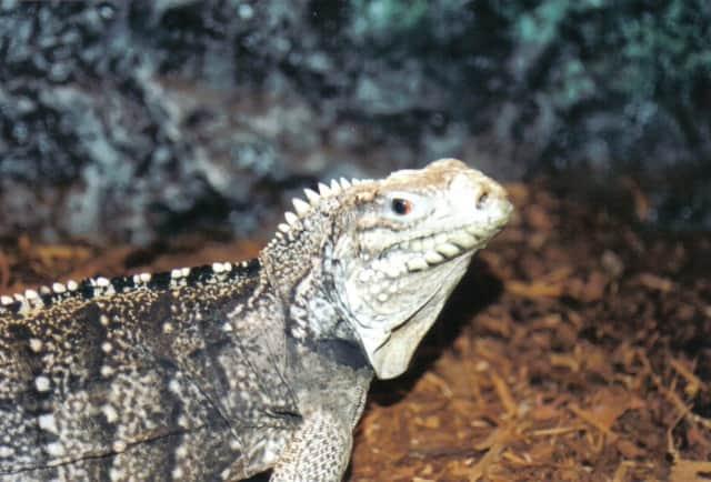 A Cuban Rock iguana from Outragehiss Pets.