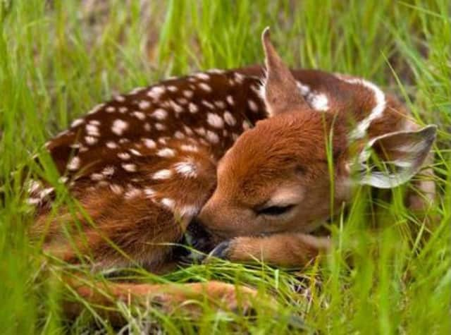 Local and state police have issued an advisory about baby deer in Ridgefield.