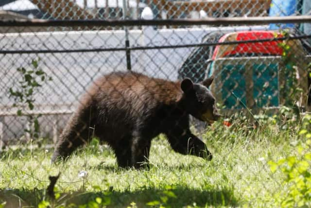 A black bear attacked a man in Orange County.