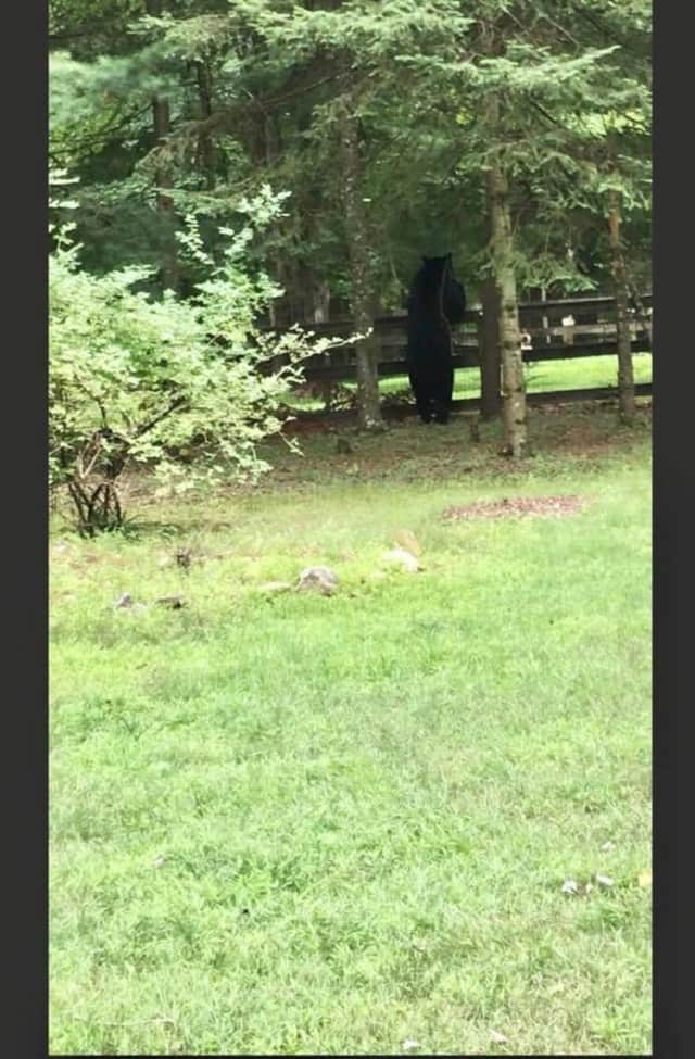 A black bear was spotted peeking over a fence in Ramapo.
