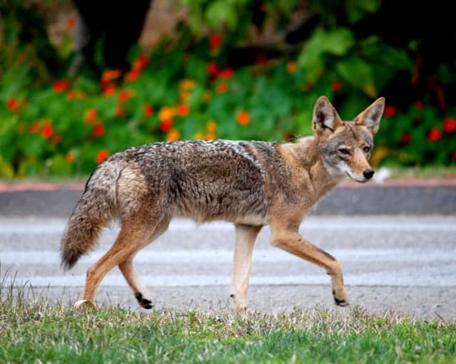 A coyote was spotted near Valhalla schools on Friday, causing officials to keep students inside.