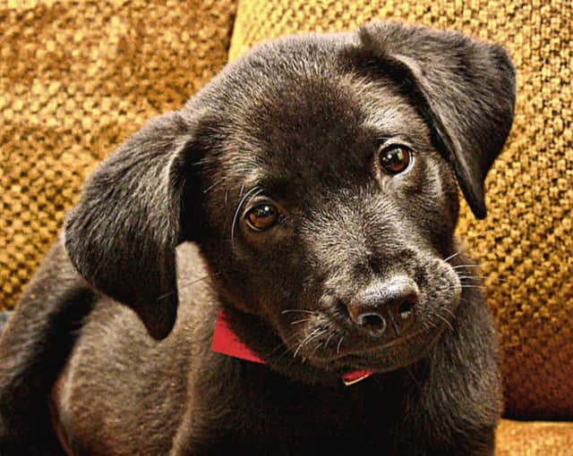 Putnam Service Dogs is seeking people willing to help raise a black labrador mix puppy that will then be trained as a service animal.