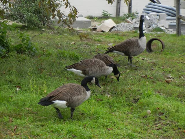Edgewater is considering how to control its geese population using non-lethal methods.