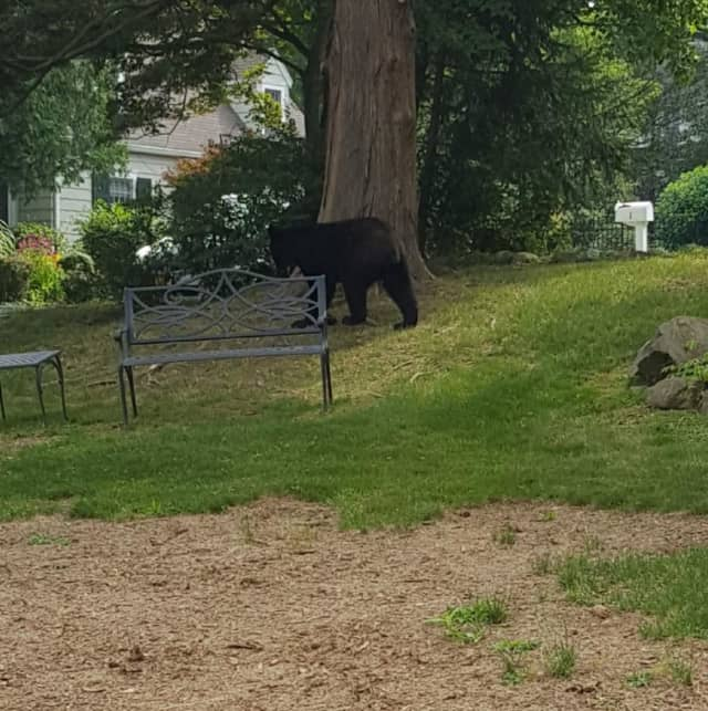 An off-duty Clarkstown Police officer spotted this black bear in West Nyack.