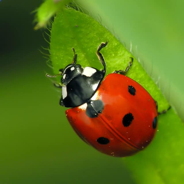The 11th Annual Rutherford Ladybug Release and Festival will be June 4.