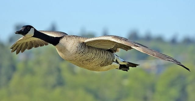 A goose was killed after flying into a car windshield Thursday.