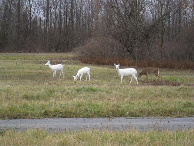 A large white deer population living in the former Seneca Army Depot located upstate faces an uncertain future when the land goes up for sale in December.