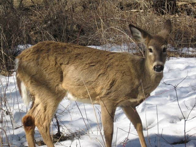 Deer management is being explored in Saddle River.
