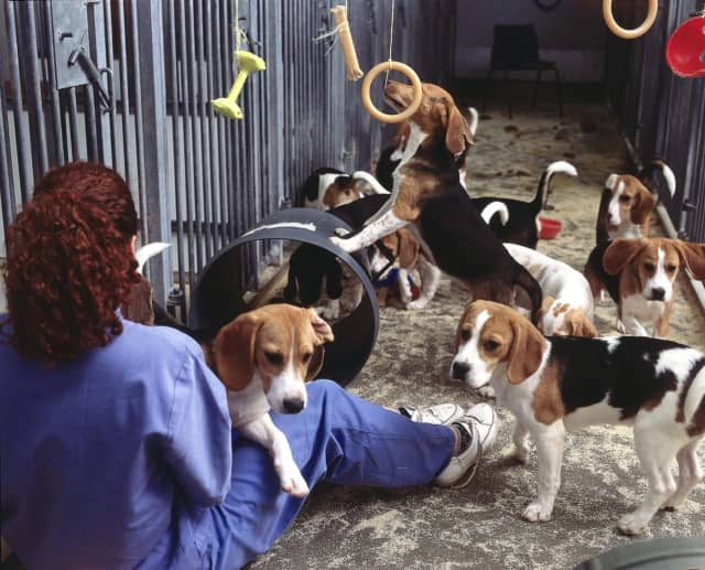 This group of beagles has been used for medical testing.