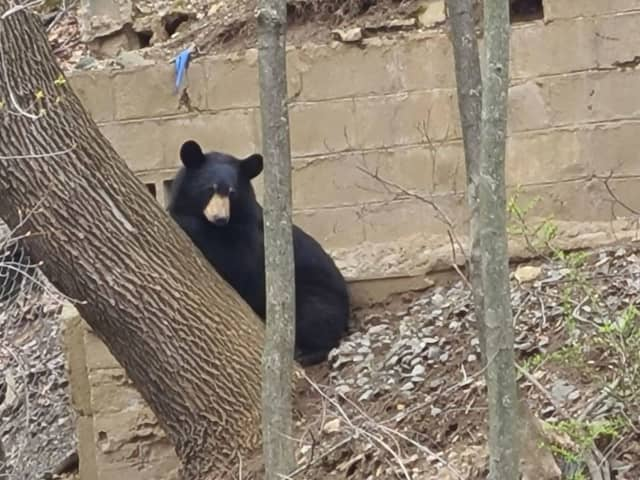 This bear, nicknamed Dan Berry, was spotted in downtown Danbury this morning.