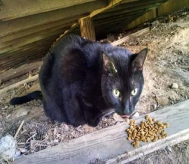This cat was recently found near Cedar Street in Dobbs Ferry.
