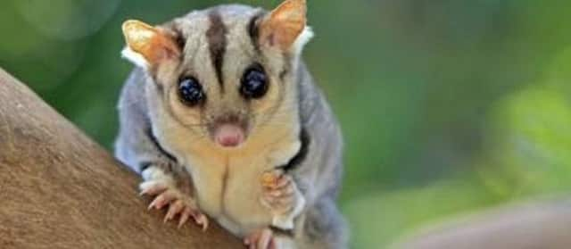 A sugar glider is one of the rainforest critters kids can meet next Wednesday.