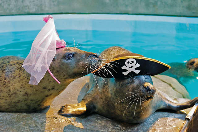 "Orange (the harbor seal princess) and Rasal (the harbor seal pirate) are ready for ""Pirates and Princesses Weekend"" March 5-6 at The Maritime Aquarium."
