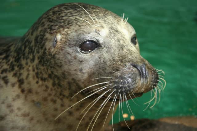 The Maritime Aquarium at Norwalk is offering free admission to all veterans and active-duty military in November. Rasal, a harbor seal at the Aquarium, is a veteran herself, having been trained by the U.S. Navy to retrieve objects from the sea floor.