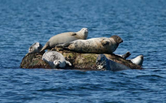A large male gray seal (with dark head) rests among harbor seals on a rock in Long Island Sound.