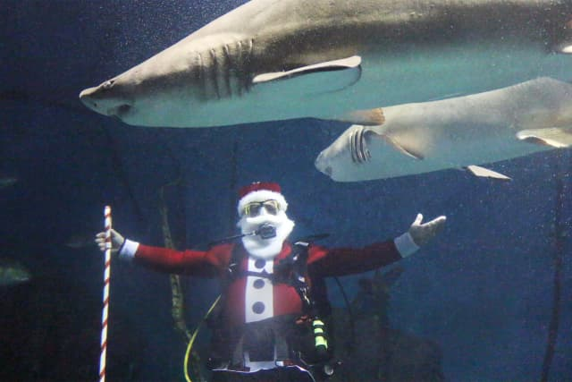 """Santa Claus dives among the sand tiger sharks in The Maritime Aquarium at Norwalk's """"Ocean Beyond the Sound"""" exhibit."""