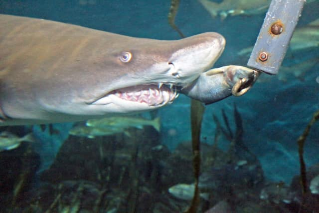 """Watch from behind the scenes as the sand tiger sharks are fed during the """"Feeding Time"""" program at The Maritime Aquarium at Norwalk on Wed., Dec. 28. It's for ages 5 and up."""