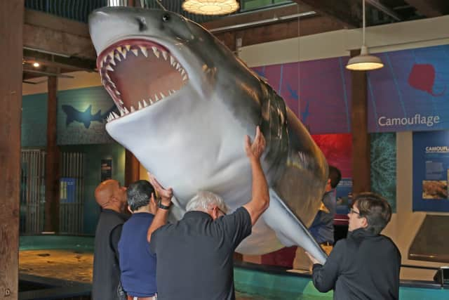 A Fiberglas model of a great white shark is being moved out of the Maritime Aquarium at Norwalk.