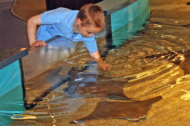 "Memorable encounters at the ""Shark and Ray Touch Pool"" await Norwalk residents Nov. 7 and Dec. 5 during The Maritime Aquarium at Norwalk's ""Salute Norwalk Days."""