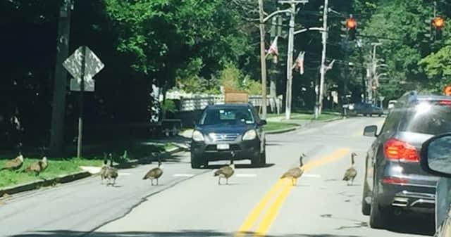 Geese jaywalking while a car waits.