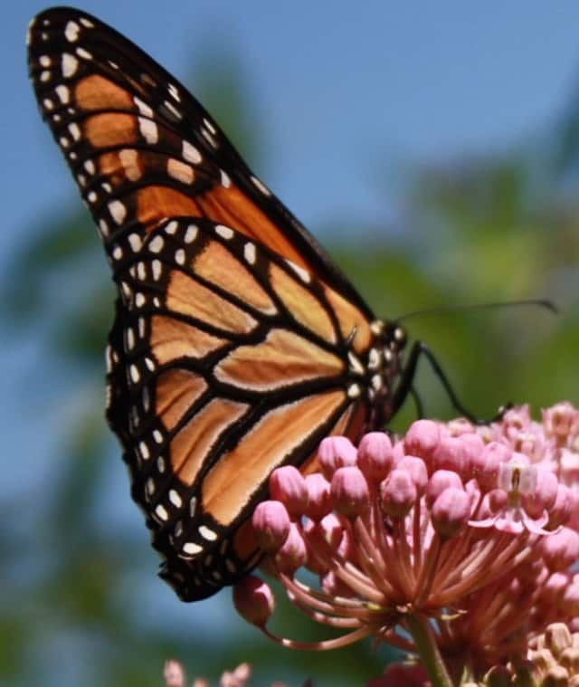 A magnificent monarch butterfly perching on a milkweed plant is an example of what participants might see on a walk at Skylands, the New Jersey State Botanical Garden, in Ringwood.