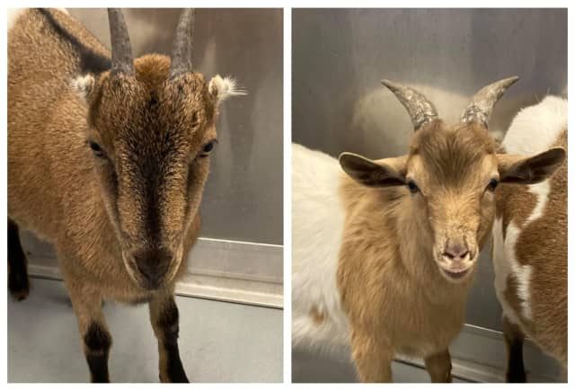 Missing a pair of goats? The Hudson Valley Humane Society is looking for their owners.