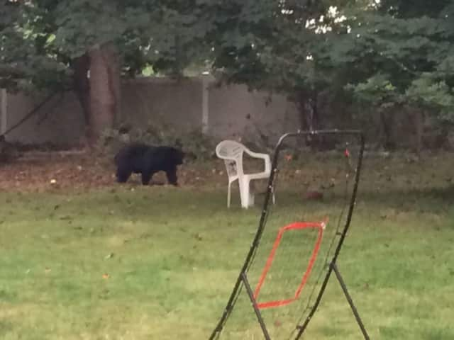 A picture of a bear in a New Hempstead backyard in late September, 2016 in a photo submitted to Daily Voice.