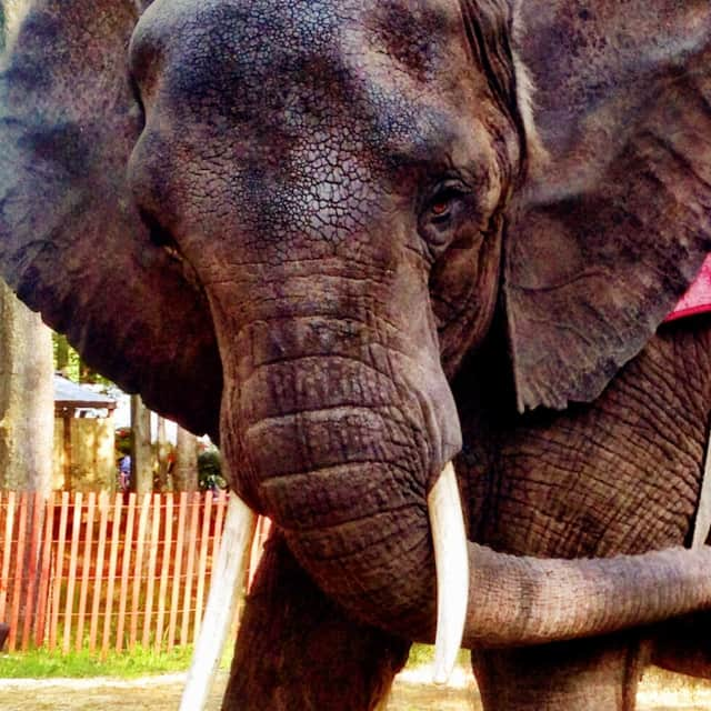 Nosey the Elephant.
