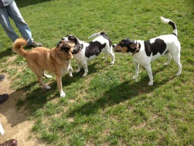Pooches check greet each other on a recent outing. Dutchess County pet owners, dismayed at the news of See Spot Run's impending closure, have vowed to fight to keep the LaGrange dog park open.