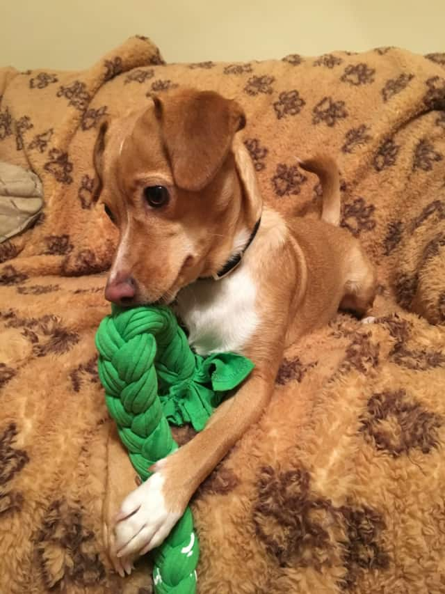 Maria Russo's dog Bella playing with a braided dog toy.