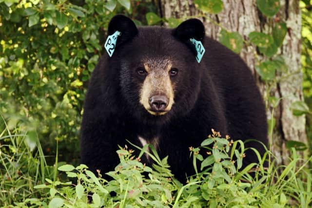 A bear with a tag in each ear. Bears are tagged during the winter.
