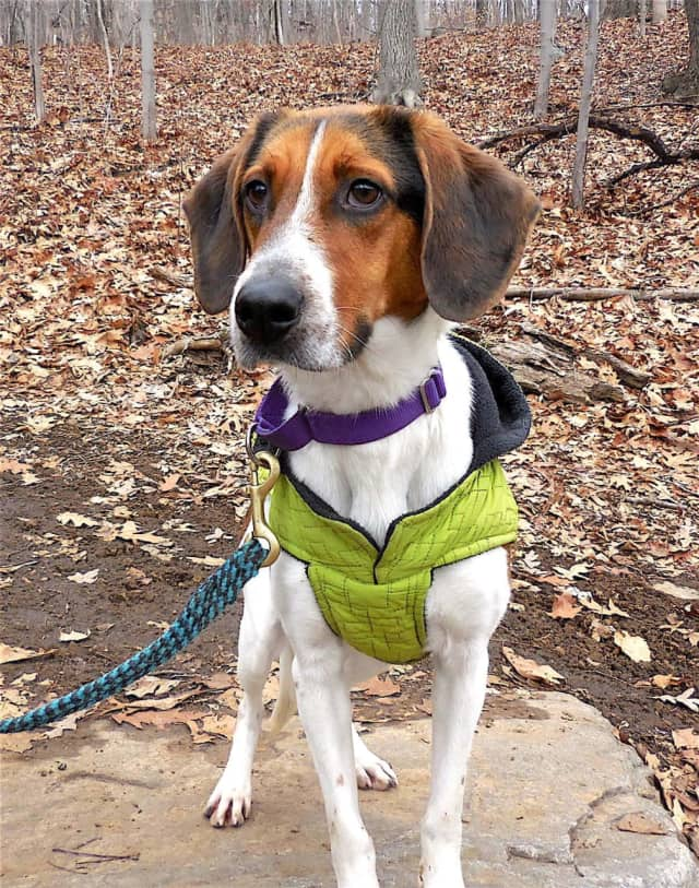 Meet Bob - Putnam Humane Society's Pet of the Week. Bob is a Hound mix, playful and friendly.