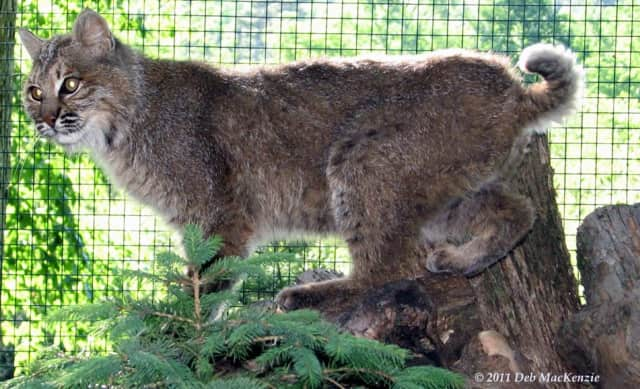 A large, dark-colored bobcat possibly was spotted in Yorktown