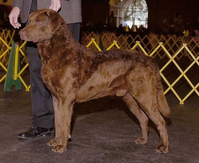 A Chesapeake Bay retriever like the one pictured here has gone missing in Chappaqua.