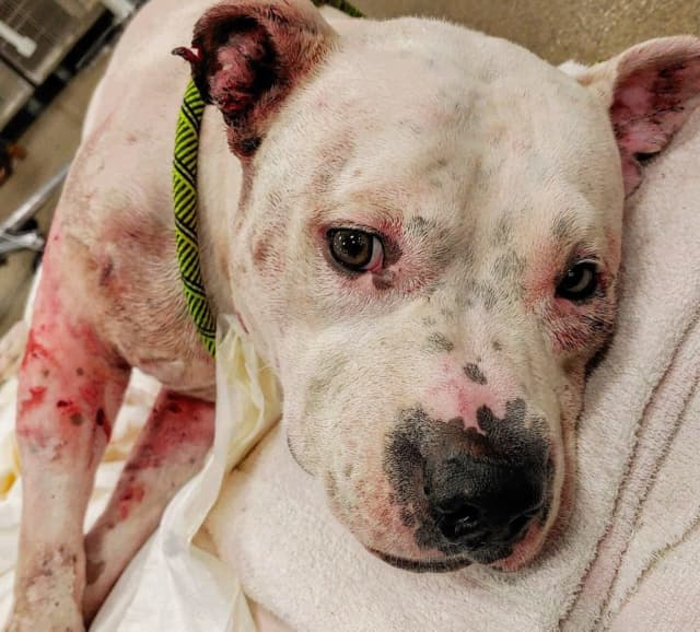 Capone, a sweet 6-year-old pit bull, was viciously attacked by his two dog siblings.