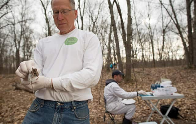 Disease ecologist Dr. Richard S. Ostfeld examines a rodent while conducting a field study of how environmental conditions affect the risk of tick-borne diseases.