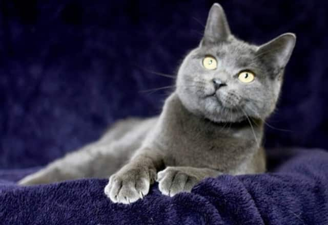 Cashmere, a sweet and playful kitty who happens to be FIV positive, is up for adoption at the Hi Tor Animal Care Center in Pomona.
