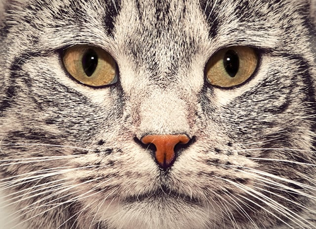 Cute cat face close up portrait. Looking straight at the camera