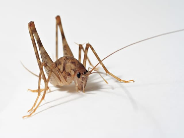 Spider or camel crickets love to hide in dark, damp spaces.
