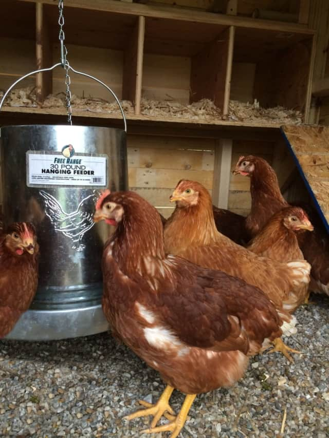 Fable Farm raises free range chickens