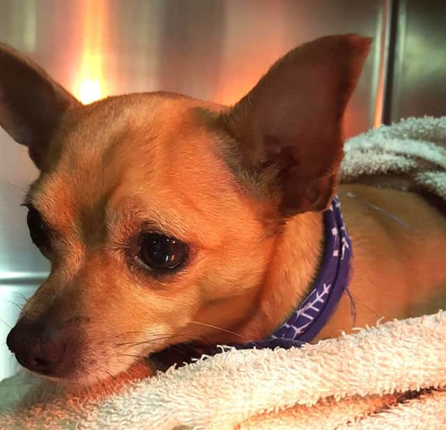 This little Chihuahua was rescued by a good Samaritan after being struck by a car on Route 312 in Brewster. He has been reunited with his owner.
