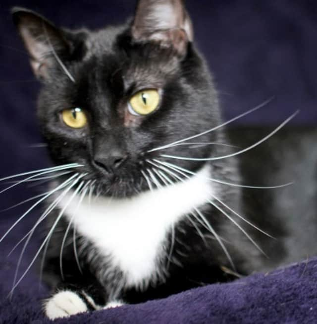 """Raven, who is up for adoption at the Hi Tor Animal Care Center in Pomona, is """"talkative,"""" friendly with other cats, and craves petting and holding."""