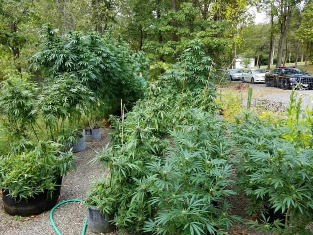 Seized marijuana.