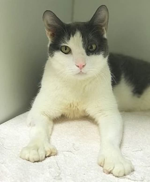 Check out those big feet! Sadly someone had Constantinople's front paws declawed. Is this the cat you're looking for?