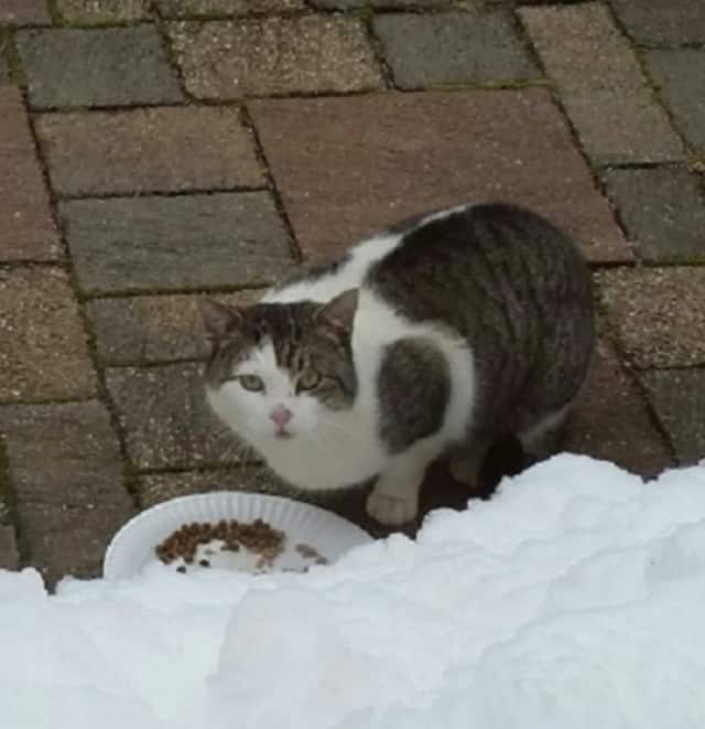 Do you know whose kitty this is? If so, you can contact Cortlandt Manor resident Robin Kreuz through the website, Lost Pets of Westchester County NY.